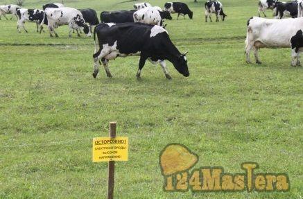 Электропастух: фермеры нашли способ оптимального круглогодичного выпаса скота